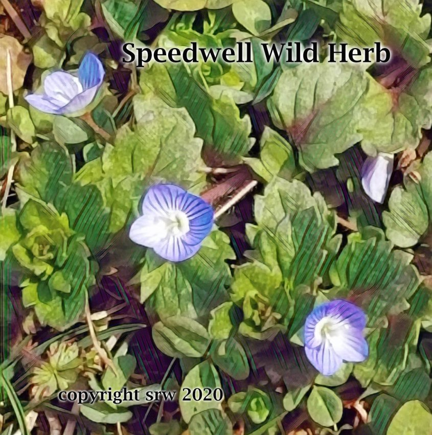 speedwell1